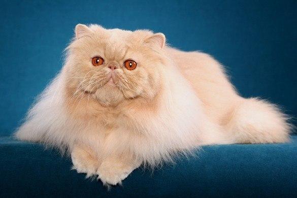gato-persa-1
